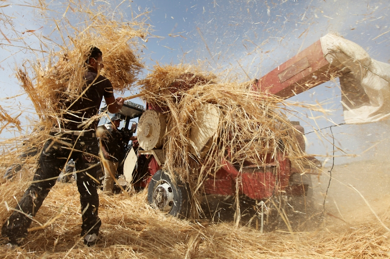 Palestinians harvest wheat in the village of Um Faqarah. However, the production is barely enough to cover the needs of the population, as most of the land was seized for Israeli military bases and settlements. When there is no rain, the plants also suffer because Palestinian residents are denied access by Israel to running water. [Eloise Bollack/Al Jazeera]