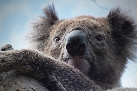 Australia in battle to save threatened species