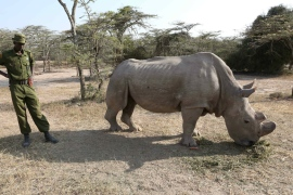 Sudan, 42, based in Kenya is the last male northern rhinoceros in the world [Hannah McNeish/Al Jazeera]