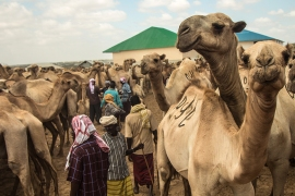Somali camel traders pay the price of war in Yemen