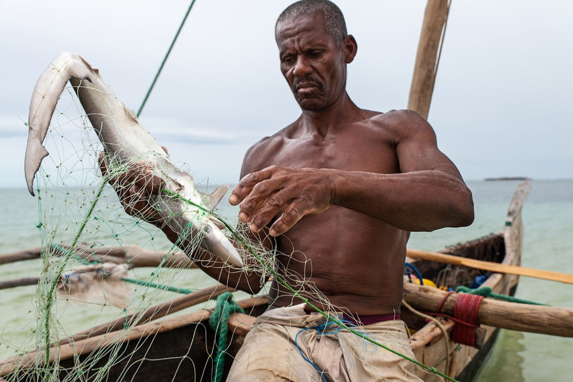 Francois, in his 60s, has been fishing for sharks for 30 years. He says that 15 years ago he was catching adult sharks - tiger, hammerhead and 5-metre great whites - too large to pull into his pirogue, but now he mainly catches small, immature sharks.  Overfishing, driven by strong Chinese demand for shark fins, has led to the collapse of local shark populations. Over the past decade, he has been forced to go further from his home to find sharks.[Garth Cripps/Al Jazeera]