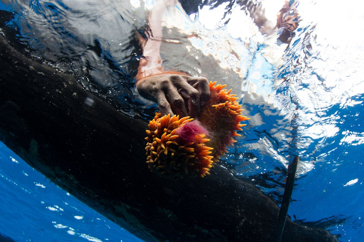 A fisherman harvested sea cucumber by free-diving. Illegal sea cucumber diving teams using scuba gear have exploited the deeper areas.  Migrant fishermen must free dive up to 18-24 metres to find sea cucumbers, sometimes on the same reefs illegal scuba divers are exploiting. [Garth Cripps/Al Jazeera]