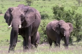 Animal rescue organisations are now looking at DNA tracking to stop elephant poaching at the source versus tusk seizures  [Al Jazeera]