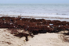 The putrid beige carpet began covering the sands a week ago [Sallieu Sillah/AFP]