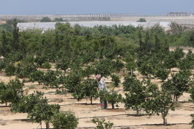 In recent years, Israel has sprayed crops near the Gaza border fence at least once annually, according to Israeli human rights group Btselem [Ibraheem Abu Mustafa/Reuters]