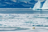 A polar bear wanders across the ice floes in the Canadian Arctic [Getty]