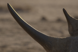 Anger and outrage over widespread rhino horn poaching