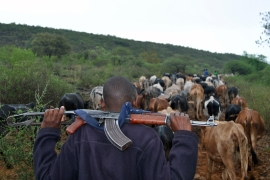 An armed herder from a village in Baringo County drives his cattle to grazing fields [Anthony Langat/Al Jazeera]
