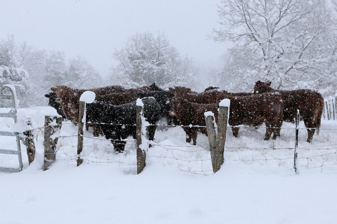 Cattle huddle together for heat as the heavy snow comes down near Corte, Corsica. [Pascal Pouchard-Casabianca/AFP]