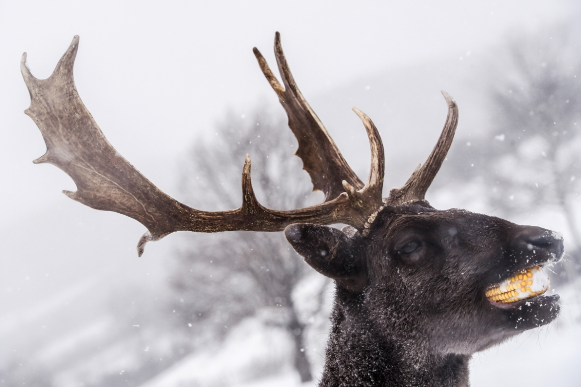 A stag enjoys a piece of corn on a snow-covered field in the village of Dumnice, Kosovo. [Armend Nimani/AFP]