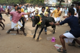 Protests flare in southern India over Jallikattu ban