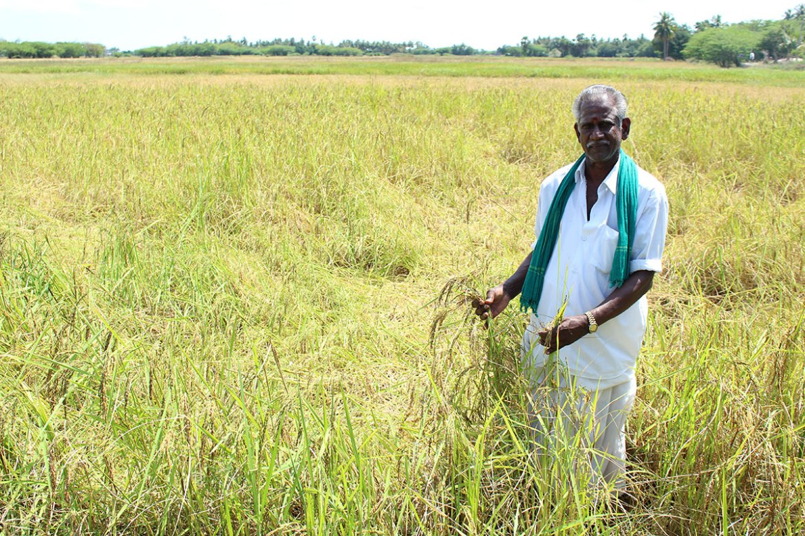 Ganesan Manikka Gounder, another farmer in the same village, lost his paddy completely this year. However, he had sowed another traditional, drought-resistant variety called Mapillai Samba with great success. This rice, also known as 'Bridegroom's rice', lost its importance after the Green Revolution. In the past, men were asked to lift a heavy stone (called illavata kal locally) if they wanted to win a girl's hand in marriage. They were fed Mappillai samba rice for six months in order to be able to lift the heavy stone. [Sharada Balasubramanian/Al Jazeera]