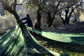 A worker spreads olive harvest netting at an olive grove at Plomari village in Lesbos, Greece [Orestis Panagiotou/EPA]