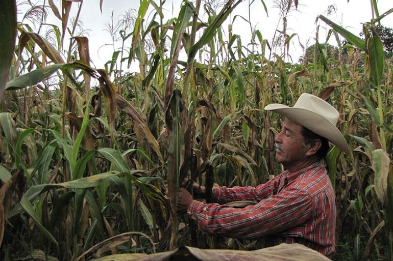 Felix Corzo Jimenez, a farmer in Chiapas, Mexico, examines one of his many maize plants infected with tar spot complex [Johnson/CIMMYT]