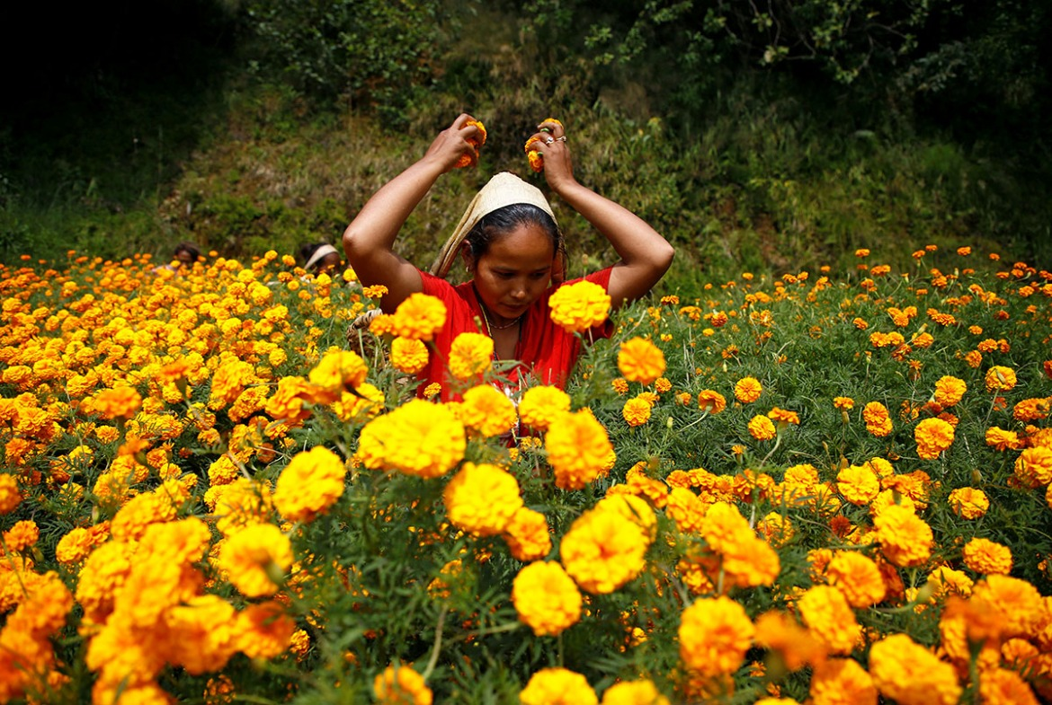 A woman picks marigold flowers used to make garlands and offer prayers, before selling them to the market for the Tihar festival, also known as Diwali, in Kathmandu, Nepal. [Navesh Chitrakar/Reuters]