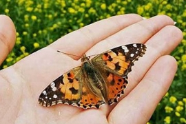 Vanessa cardui, also known as the Painted Lady [Al Jazeera]