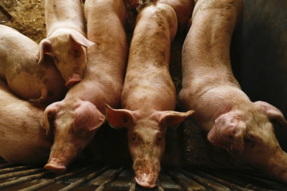 African swine fever, which has hit the world's top pork producer, China, especially hard, originated in Africa before spreading to Asia and Europe [File: Kacper Pempel/Reuters]