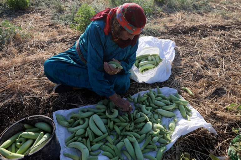 A Palestinian woman picks cucumbers from her family farm in Deir Ballut village near the West Bank city of Salfit [Alaa Badarneh/EPA]