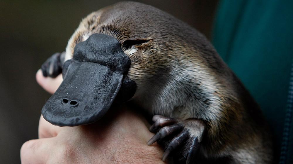 Australia's platypus under threat from
