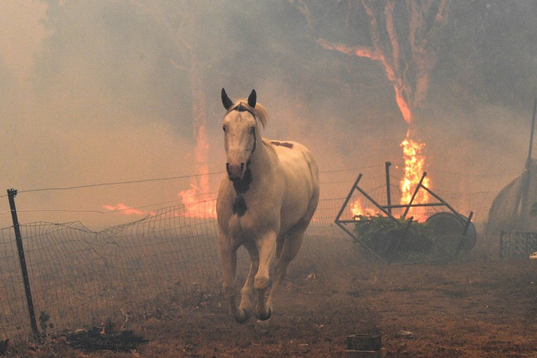 This picture taken on December 31, 2019 shows a horse trying to move away from nearby bushfires at a residential property near the town of Nowra in the Australian state of New South Wales. - Fire-rava