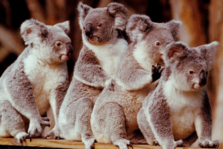 The question of how koalas get enough water to survive has long puzzled scientists [File: Steve Holland, AP Photo]