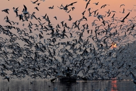 Species that have suffered the highest declines include white-rumped vulture, Richard's pipit, Indian vulture, large-billed leaf warbler, Pacific golden plover and curlew sandpiper [Anushree Fadnavis/Reuters]