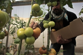 Vegetable exports to Israel were worth $88 million last year, comprising 68 percent of the West Bank's overall vegetable exports [Khalil Hamra/AP]