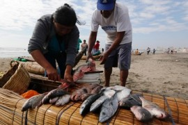 Peru's fishermen take riskier dives as catches dry up