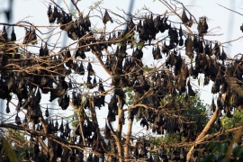 Fruit bats rest on trees within the forested area of Subic Bay in the province of Olongapo, north of Manila on March 6, 2009 [File: Reuters/John Javellana]