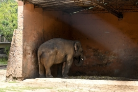 Elephant Kaavan stands under the cover of his shed behind a fence at the Islamabad Zoo [File: Aamir Qureshi/AFP]