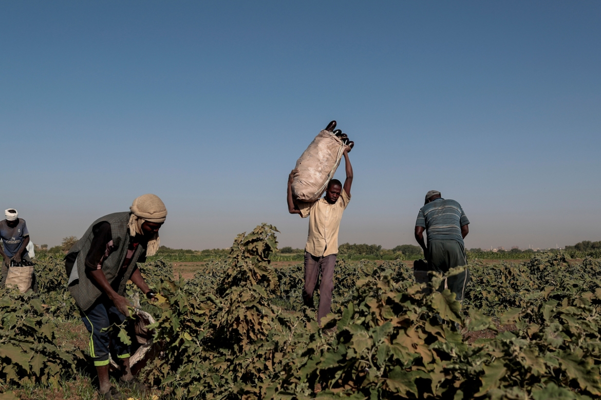 Mussa Adam Bakr, right, 48, collects eggplants with his workers on his field on Tuti Island. 'I came to Tuti in 1988 because the land here is the best for agriculture and close enough to supply markets, and it makes for a good income,' said Bakr. 'Throughout the year, the Tuti earth produces all sorts of vegetables like potatoes, onions and aubergines.' [Zohra Bensemra/Reuters]