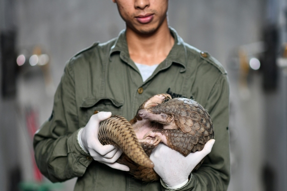 Truong holds a pangolin inside its enclosure. The pangolin's scales are falsely thought to cure anything from impotence to menstrual cramps and even cancer in traditional Chinese and Vietnamese medicine. [Manan Vatsyayana/AFP]