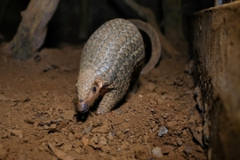 A pangolin emerging from an underground tunnel at Save Vietnam's Wildlife [Manan Vatsyayana/AFP]