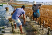 People in the Penida Archipelago have returned to seaweed farming as a result of the COVID-19 pandemic, which has kept tourists away from Bali [Ian Neubauer/Al Jazeera]