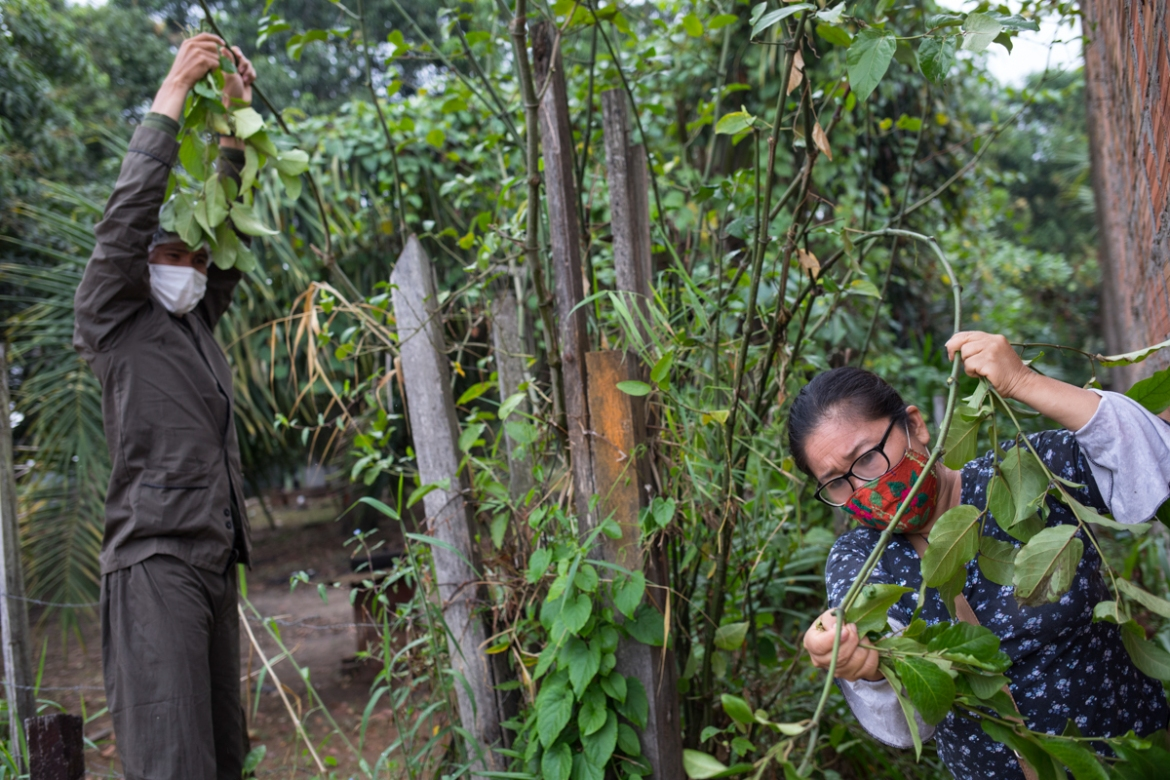 "Volunteers Isai Eliaquin Sanancino, left, and Mery Fasabi, collect the leaves of a plant known locally as ""matico"".The buddleja globosa plant has green leaves and a tangerine-coloured flower. [Rodrigo Abd/AP Photo]"