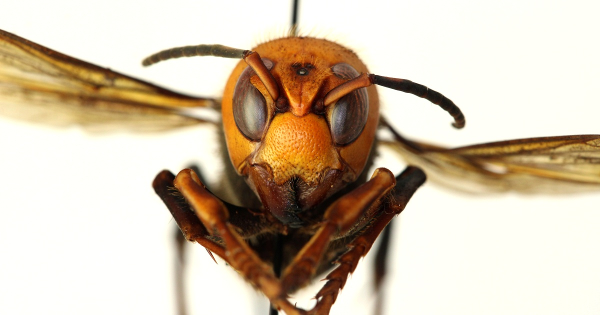 US scientists find country's first 'murder hornet' nest thumbnail