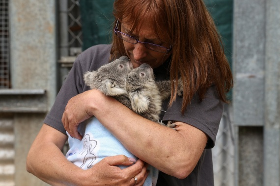 Tracey, who volunteers for the animal rescue agency, cares for twin koala joeys who have been diagnosed as being underweight, and their mother named Gladys, who was rescued from an area where urban development is encroaching on koala habitat. [Loren Elliott/Reuters]