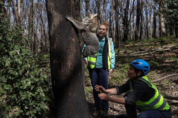 Research scientist Victoria Inman and Kellie Leigh release a koala named Pele and her joey back into the wild. [Loren Elliott/Reuters]