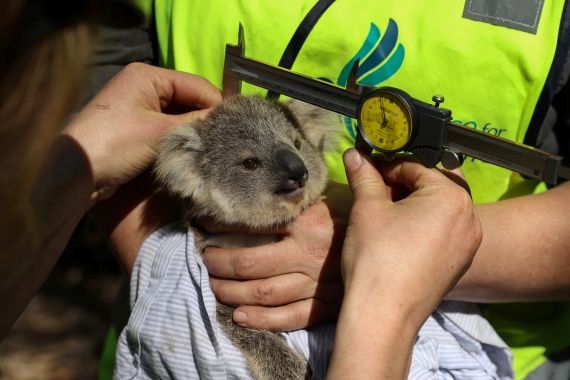 Kellie Leigh of Science for Wildlife and her team conduct a health assessment on a wild koala joey as part of The Blue Mountains Koala Project, a population monitoring programme spearheaded to plan for koala recovery in the region. [Loren Elliott/Reuters]