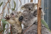 Gladys and her joeys, who have been diagnosed as being underweight, were rescued from an area where urban development is encroaching on koala habitat [Loren Elliott/Reuters]