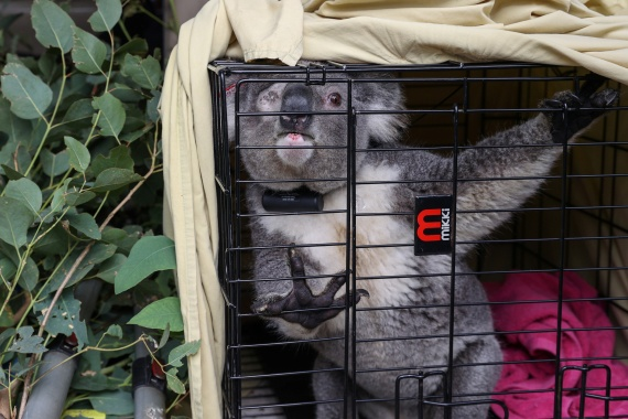 A koala named Ernie is transported to the area from which he was rescued, in preparation for being released back into his natural habitat. [Loren Elliott/Reuters]