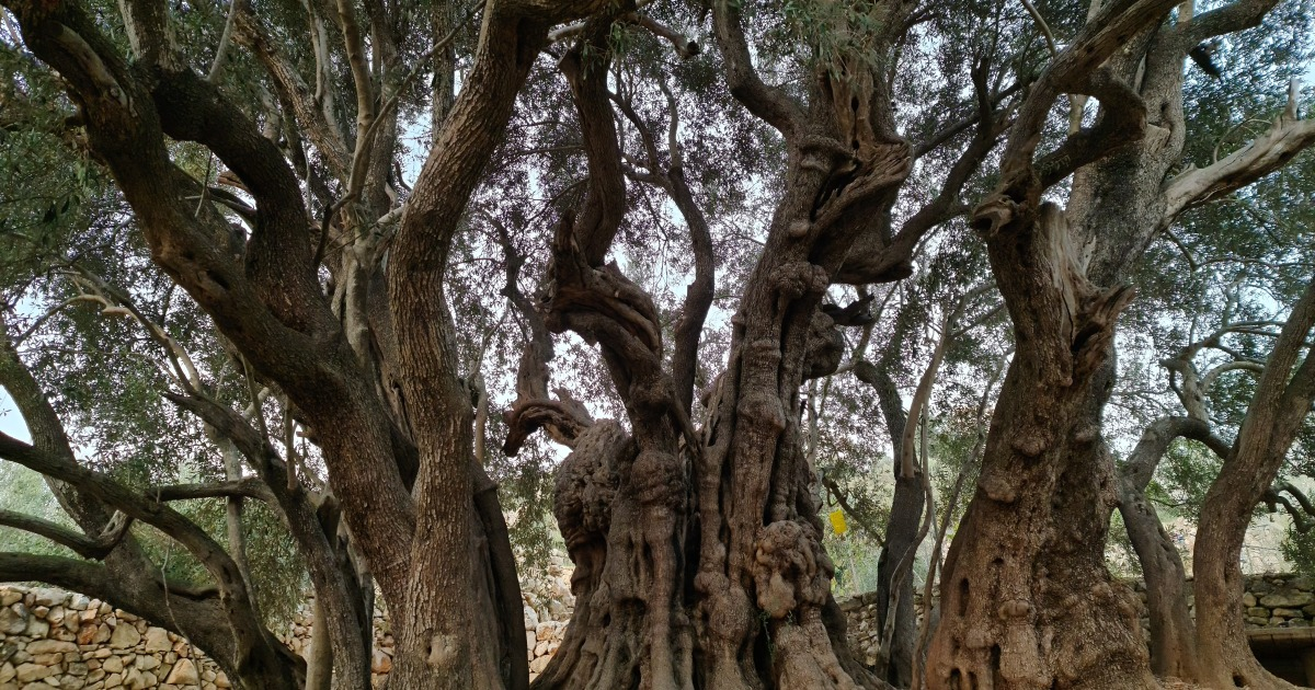 Palestinian olive farmers defy Israeli attacks for prized crop