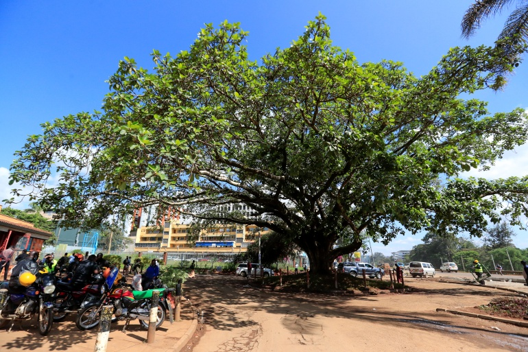 The four-storey-high fig tree stands on Waiyaki Way in the west of Nairobi [Thomas Mukoya/Reuters]