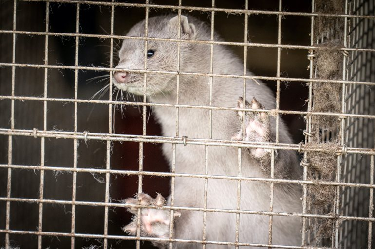Denmark is one of the world's main mink fur exporters, producing an estimated 17 million furs per year and exporting them mostly to China and Hong Kong [File: Ritzau Scanpix/Mads Claus Rasmussen via Reuters]