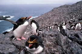 Macaroni penguins in the colony of some 2.5 million breeding pairs on the island of South Georgia in the South Atlantic - their numbers have been declining since 1976 [Reuters]