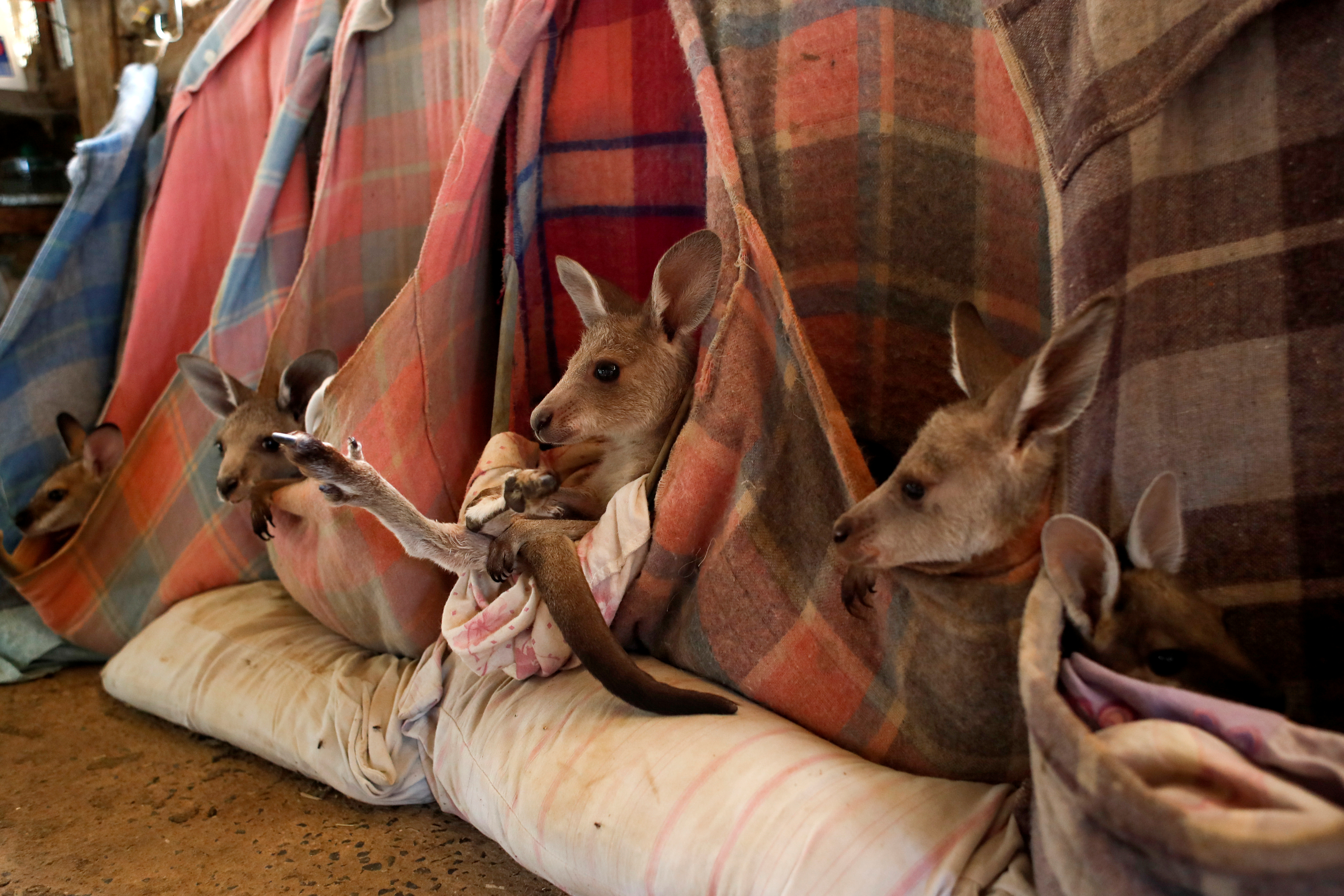 Help Me, Human! Researchers Claim Kangaroos Can Communicate With People