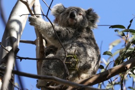 Kali and her joey - monitored by Science for Wildlife as part of the Blue Mountains Koala Project for koala recovery - in their natural habitat in an area affected by bushfires [Loren Elliott/Reuters]