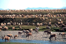 Indigenous groups say drilling in the Arctic National Wildlife Refuge would harm porcupine caribou herds that migrate onto the refuge's coastal plain [File: US Fish and Wildlife Service via AP]