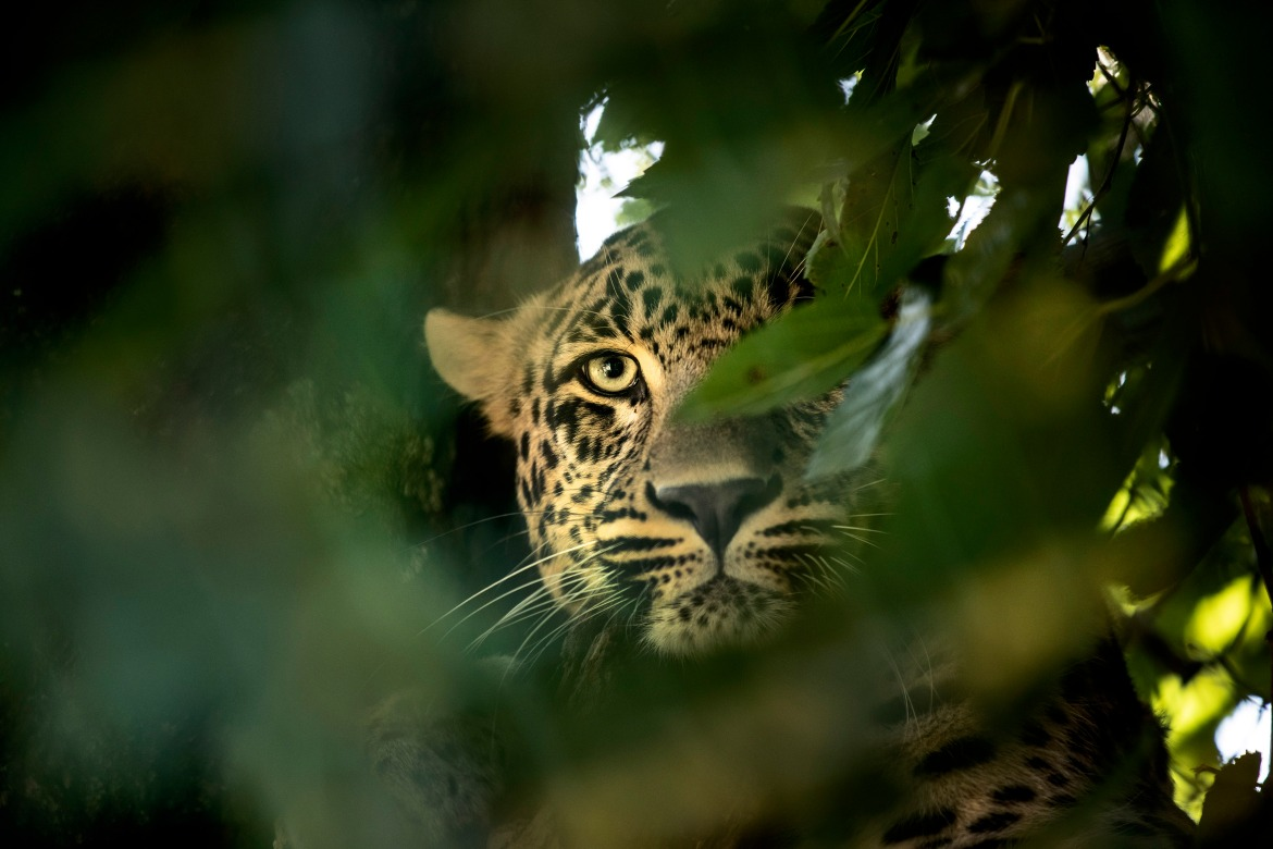 A leopard looks from a tree inside an enclosure at the Dachigam National Park. [Mukhtar Khan/AP Photo]