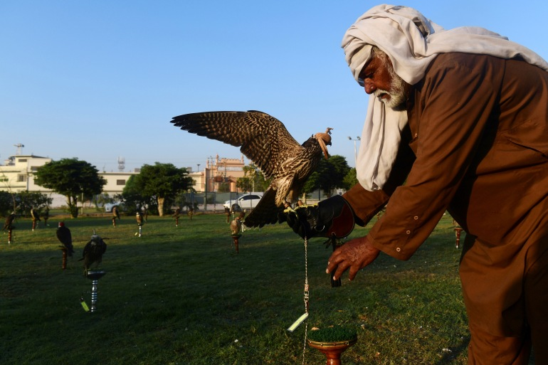 Wild birds are prized over those bred in captivity because they are believed to be better hunters, though there is no evidence to support those claims [Zain Zaman Janjua/AFP]